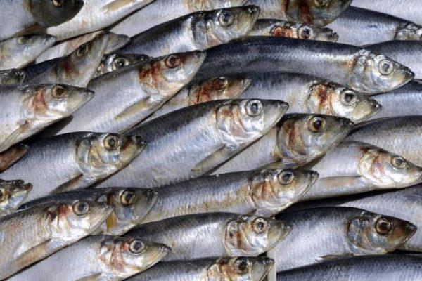 Filet de hareng mariné