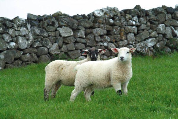 L'agneau – Généralités
